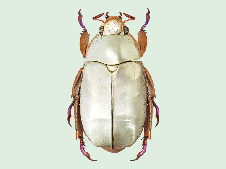 Silver chafer beetle, Central America